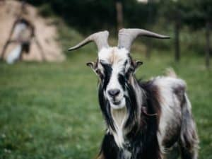 Goat Cheese Alternative