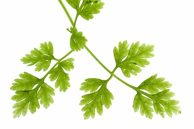 Chervil Leaves Isolated