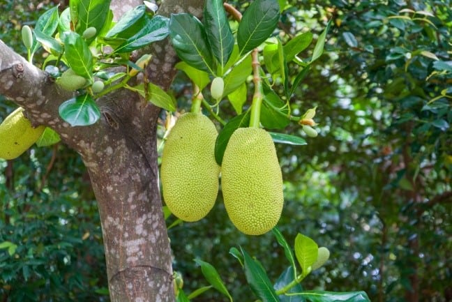 Jackfruit hanging on a tree
