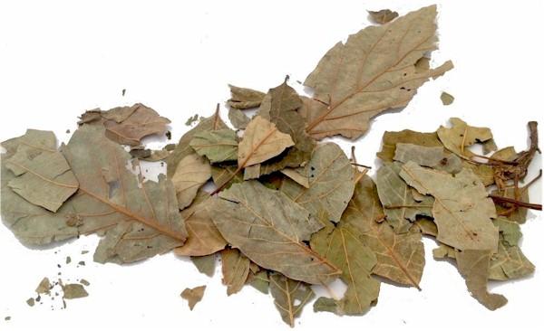 Mexican Avocado Leaves